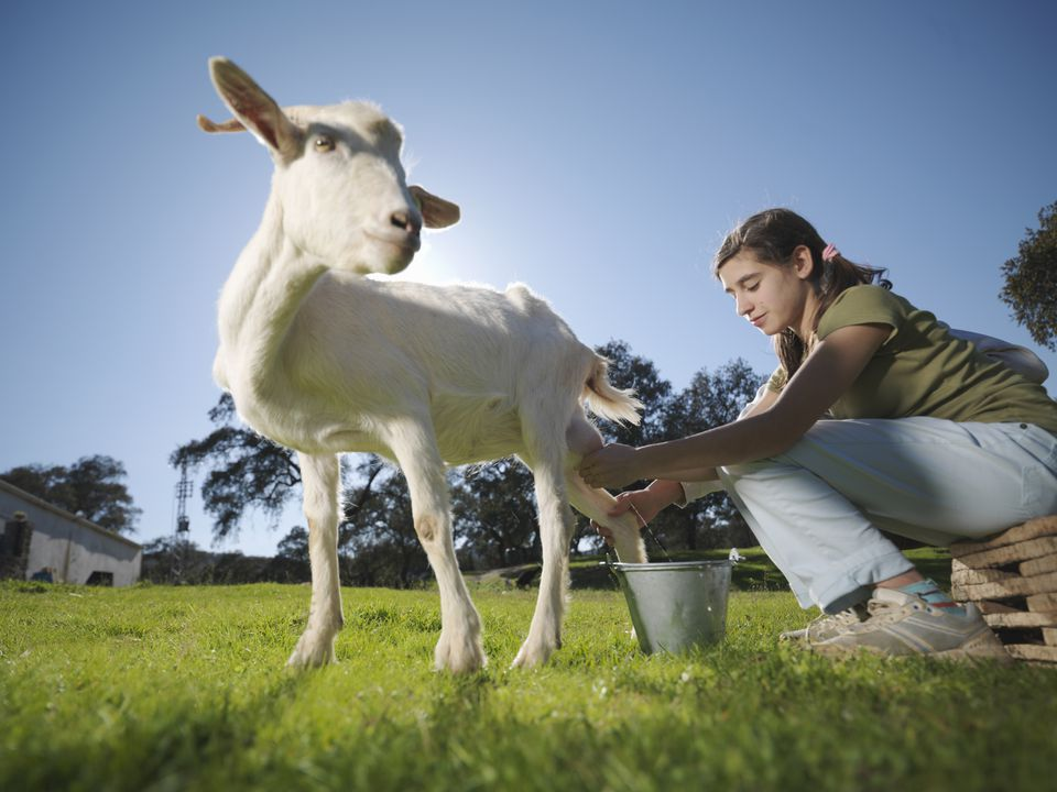 9 Interesting Facts About Goat Milk